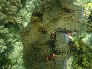 Photo: Heteractis magnifica (Ritteri Anemone), Amphiprion ocellaris (Ocellaris Clownfish), Panglao Island, Philippines