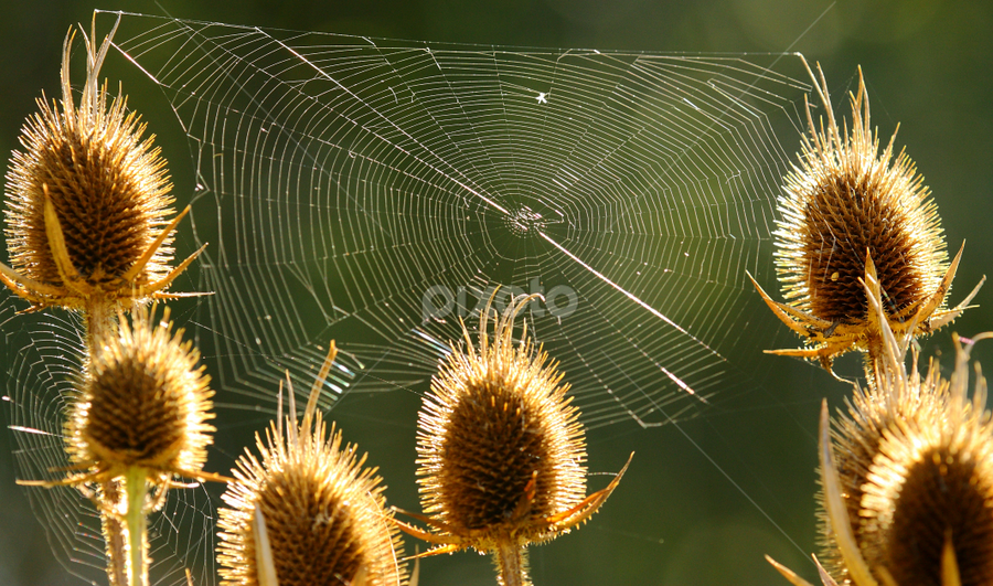 Thistles and Web by Greg VandeLeest - Nature Up Close Other plants ( webs, seedheads, spiders, thistle, dew, plants )