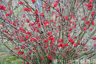 Photo: 拍攝地點: 梅峰-溫帶花木區 拍攝植物: 貼梗海棠 拍攝日期:2012_03_07_Yah