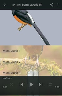 Kicau Murai Batu Aceh - náhled