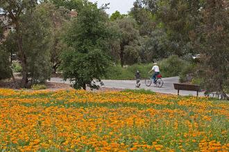 Photo: Near Davis Commons - Calif poppies