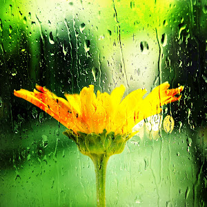 Yellow Daisy with ants and flying bugs_pe through rainy window.jpg