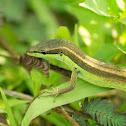 Long Tailed Grass Lizard/Asian Grass Lizard