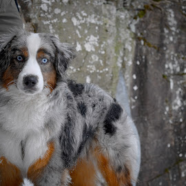 Australian Shepherd in Snow by Bryant Mountjoy - Animals - Dogs Portraits ( snow, australian, winter, shepherd, dog )