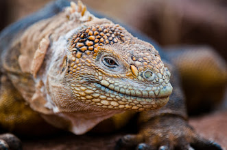 Photo: Land iguanas are very colorful; North Seymour