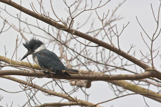 Photo: Belted kingfisher