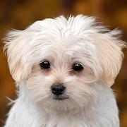 maltese dog wallpaper