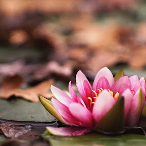 November's waterlily in early evening. by Mony Fifinková - Flowers Single Flower ( vintage, colors, sony ilca 77m2, leaves, bokeh, lens, waterlily, nature, autumn, trees, pink, jupiter 9, flowers, evening )
