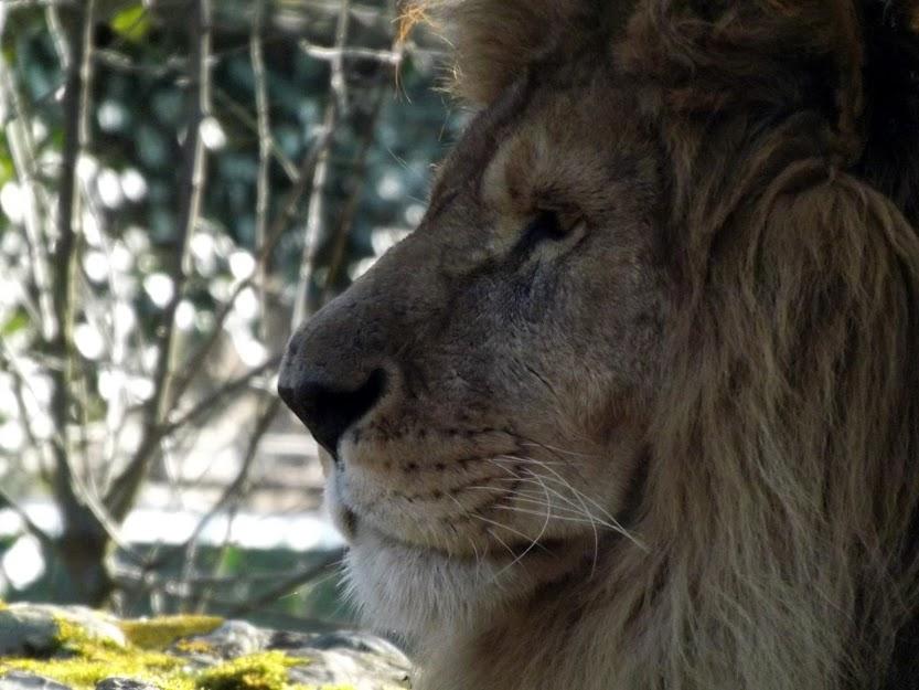 Lion, Doué la Fontaine - Tous droits réservés