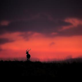 An Impala poses against another beautiful Mara Sunset by Shreyas Kumar - Landscapes Sunsets & Sunrises ( impala, sunset, impalasilhoutte, silhoutte, masaimara,  )