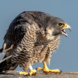 Peregrine Falcon by Debbie Quick - Animals Birds ( peregrine falcon, raptor, debbie quick, nature, falcon, debs creative images, birds of prey, stateline lookout, bird, palisades interstate park, alpine, new jersey, animal, wild, wildlife,  )