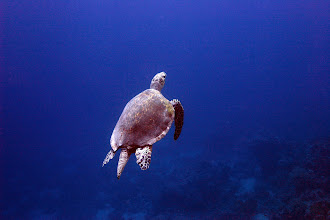 Photo: Green turtle (Chelonia mydas) beginning its rise to the surface for air