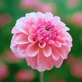 Pink Dahlia #9 by Jim Downey - Flowers Single Flower ( pink, green, cells, white, dahlia )
