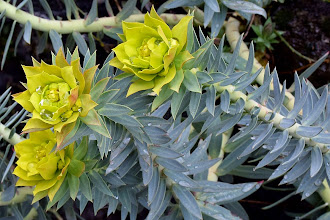 Photo: Euforbia rigida (Euphorbia rigida)