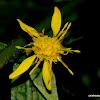 European goldenrod or woundwort