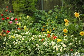 Photo: 拍攝地點: 梅峰-溫帶花卉區 拍攝植物: 大理花 拍攝日期: 2014_07_27_FY