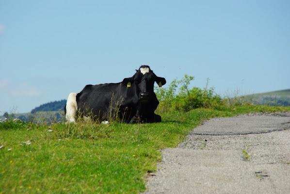 Mucca on the road di sergio71