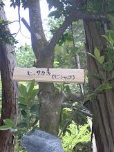 Photo: 「ヒサカキ」 榊に比べて葉が小さいことから姫サカキと呼ばれ、仏様に供える木。漢字では、姫榊と書く。ビシャコとも呼ばれる。