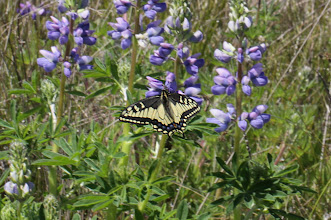 Photo: Papilio zelicaon zelicaon (Lucas, 1852) - The Anise Swallowtail