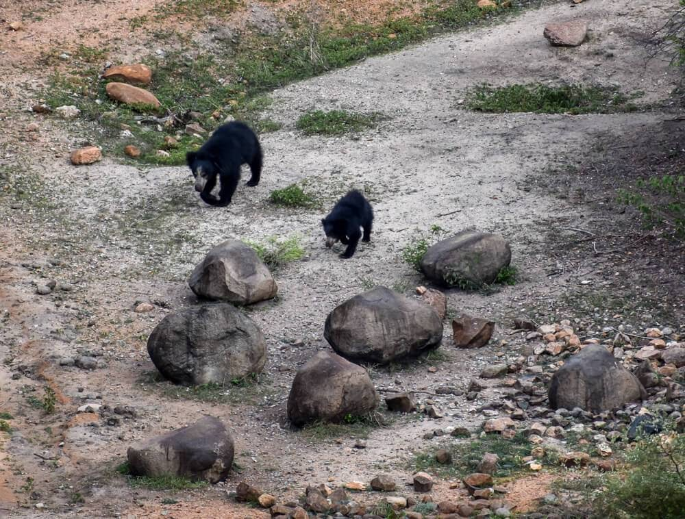 daroji bear sanctuary hampi karnataka sloth bear images