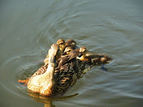 Photo: Mother duck and her ducklings swimming in the sunset at Cox Arboretum in Dayton, Ohio.