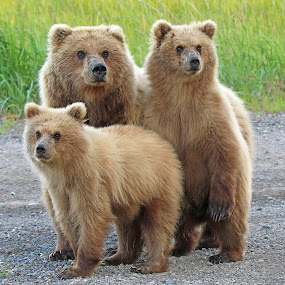 Family Photo!! by Anthony Goldman - Animals Other Mammals ( grizzly, bear, wild, predator, lake clark, cow, cubs, brown, mom, mammal,  )