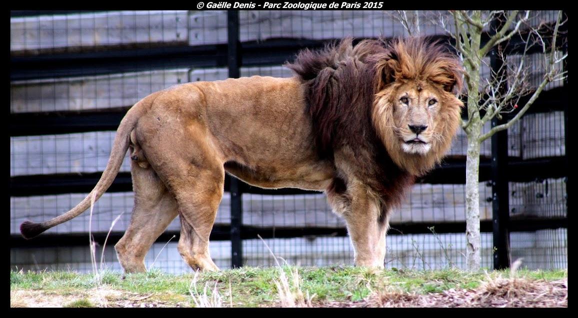 Lion de l'Atlas, Parc zoologique de Paris - Tous droits réservés