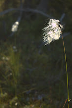 Photo: Cotton grass
