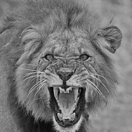 Growl! by Anthony Goldman - Black & White Animals ( lin, tanzania, predator, east africa, big cat, wild, male, tarangire national park, wildlife )