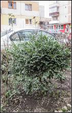 Photo: Turda - Str. Macilor - Cimisir - (Buxus sempervivens)  - 2018.03.17