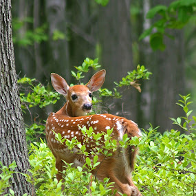 White-tail fawn by Bill Diller - Animals Other Mammals ( white-tail deer, nature, michigan, baby animal, fawn, summer, cute animal, wildlife )