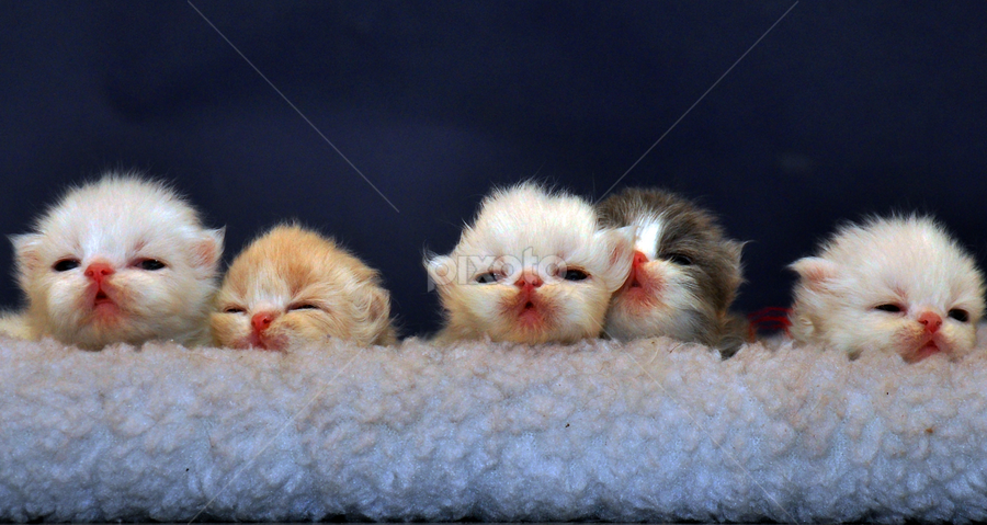 Persian Babies by Cacang Effendi - Animals - Cats Kittens