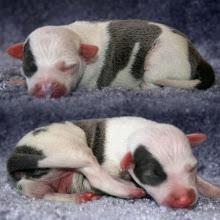 "Photo: ""Farfalla"", AVAILABLE FOR SALE!, Blue/White Split-Face Italian Greyhound Pup"