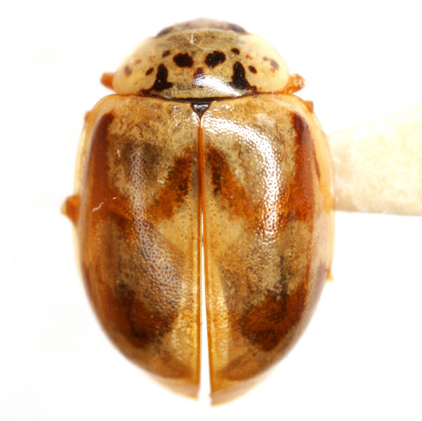 Photo: Mulsantina quinquelineata (Mulsant) Det. J. B. Chapin, 1984 (by dissection) (Coccinellidae » Coccinellinae)