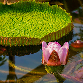 Victoria amazonia by Michael Michael - Flowers Flowers in the Wild ( wild flower, pink flower, wild, amazonia, lily, green, victoria, pink, lily pad, flower, victoria amazonia,  )