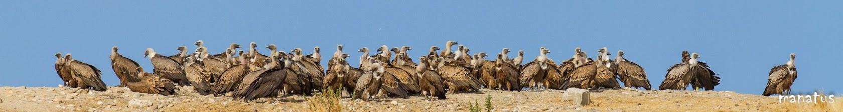 manatus grupo de buitres posados