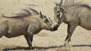Warthogs, Hippos, Badgers thumbnail