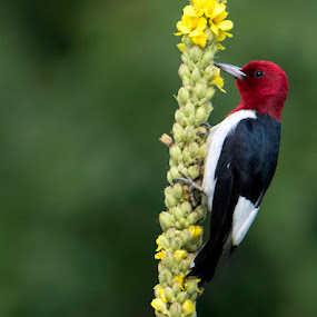 Red Headed Woodpecker on Mullein by Bruce Arnold - Animals Birds (  )