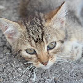 by Bakir Suljevic - Animals - Cats Portraits