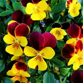 pansy by Andjela Miljan - Flowers Flower Gardens (  )