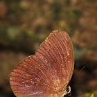 Common Faun