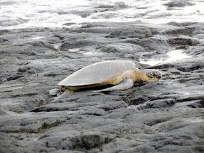 Photo: Hawaiian Green Sea Turtle at Kaloko-Honokohau Park