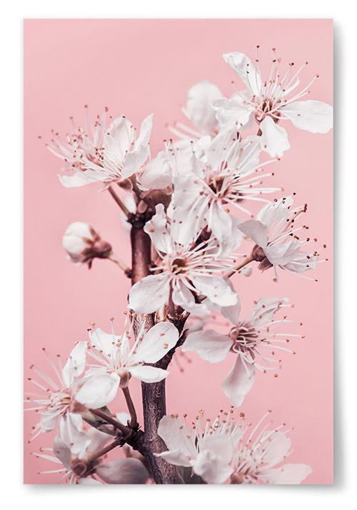 Poster Vita Blommor Framför Rosa