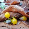 Yellow-berried Mistletoe