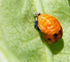Photo: Après vous avoir présenté la célèbre coccinelle voici sa larve ! J'aurais dû les mettre ensemble...