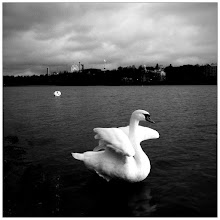 Photo: I try my best not to shoot swans but sometimes I just can't help myself. These two swans are hanging out at Töölönlahti in Helsinki Finland.  #iphoneography #mofomo #MonochromeMonday #MyMobileMonday #NatureMonday  (captured using CP Pro app with BW filter)