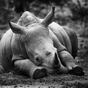 White Rhino relaxing by Francois Retief - Black & White Animals