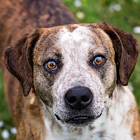 Freckles by Sabrina Causey - Animals - Dogs Portraits ( amber, dog, portrait, mammal, eyes, animal,  )