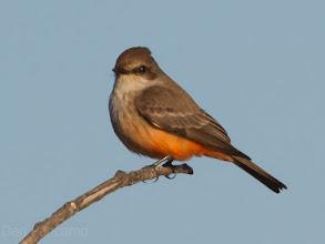 Photo: Vermillion Flycatcher