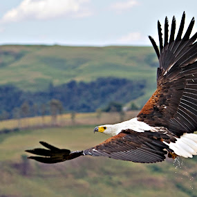 African Fish Eagle by Tracey Zettler - Animals Birds ( flight, fish eagle, freedom, strength, power )